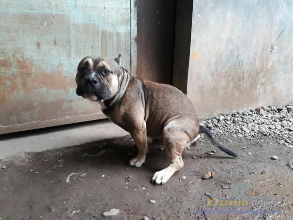 Jual Anjing Bull Terrier  - Jual Bully Jantan Coklat Istimewa Foto Kedua