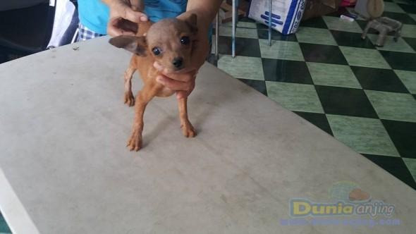 Jual Anjing Miniature Pinscher  - Jual Mini Pincher Betina Coklat Istimewa Foto Kedua