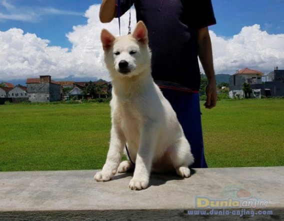 Jual Anjing Akita  - Jual White Japanese Akita Jantan Istimewa Foto Kedua