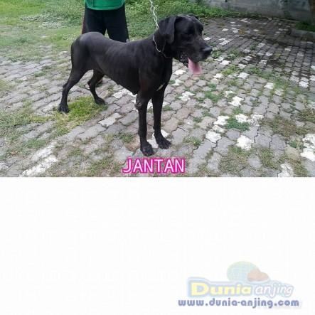 Jual Anjing Great Dane  - Jual Greatdane Jantan Dan Betina Black Istimewa Foto Utama