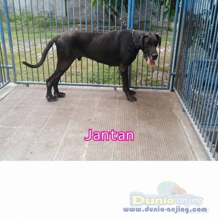 Jual Anjing Great Dane  - Jual Greatdane Jantan Dan Betina Black Istimewa Foto Kedua