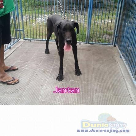 Jual Anjing Great Dane  - Jual Greatdane Jantan Dan Betina Black Istimewa Foto Ketiga