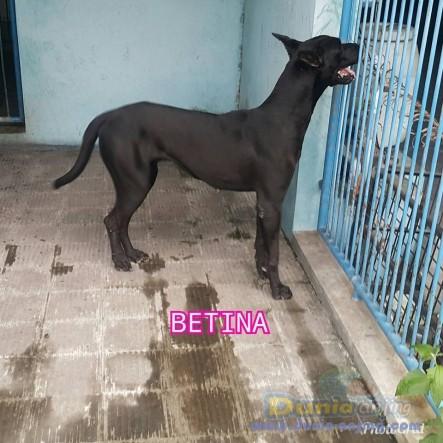 Jual Anjing Great Dane  - Jual Greatdane Jantan Dan Betina Black Istimewa Foto Keempat