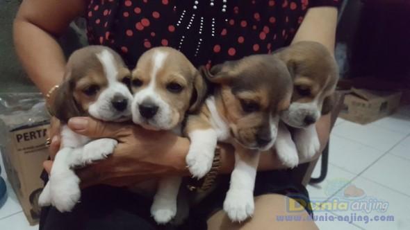 Jual Anjing Beagle  - 4 Puppy Beagle Yg Lucu N Keren @ 2,5 Jt Perekor Foto Utama