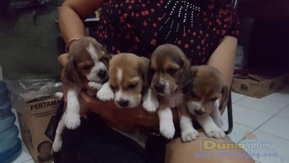 Jual Anjing Beagle  - 4 Puppy Beagle Yg Lucu N Keren @ 2,5 Jt Perekor Foto Kedua