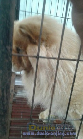 Jual Anjing Chow Chow  - Bth Jual Cpt!! Chow-Chow Btina Putih Krem & Coklat Foto Keempat
