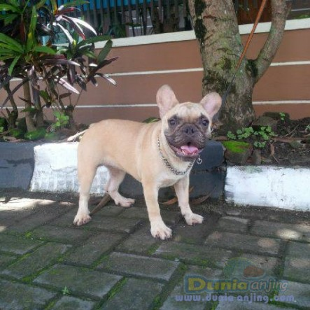 Jual Anjing French Bulldog  - Jual French Bulldog Betina Fawn Istimewa Foto Utama