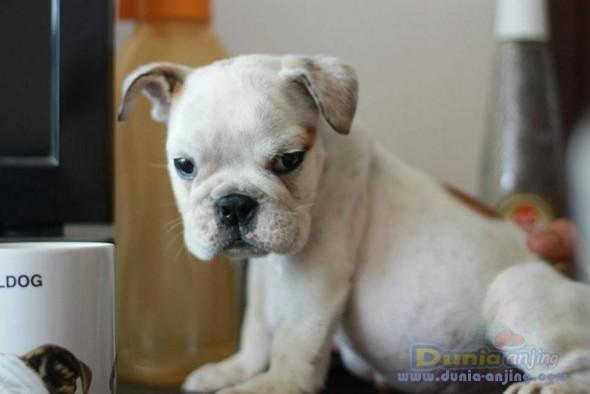 Jual Anjing English Setter  - Jual White English Bulldog Jantan Istimewa Foto Kedua