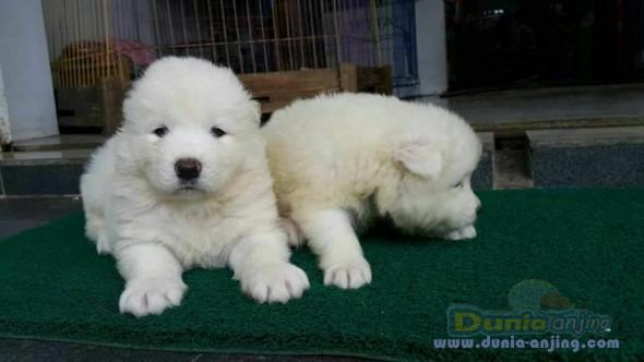 Jual Anjing Samoyed  - For Booked Samoyed Jantan Dan Betina Istimewa Foto Kedua