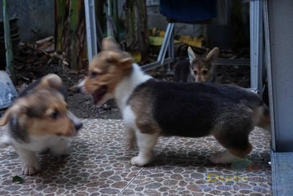 Jual Anjing Welsh Corgi  - Jual Welsh Corgi Jantan Tri Colour Istimewa Foto Utama