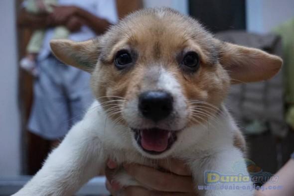 Jual Anjing Welsh Corgi  - Jual Welsh Corgi Jantan Tri Colour Istimewa Foto Ketiga