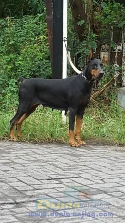 Jual Anjing Doberman Pinscher  - Jual Indukan Doberman Black Tan Istimewa Foto Utama