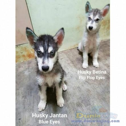 Jual Anjing Siberian Husky  - Jual Siberian Husky Jantan Hitam Istimewa Foto Utama