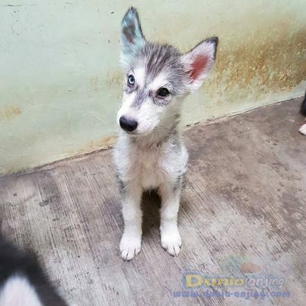 Jual Anjing Siberian Husky  - Jual Siberian Husky Jantan Hitam Istimewa Foto Kedua