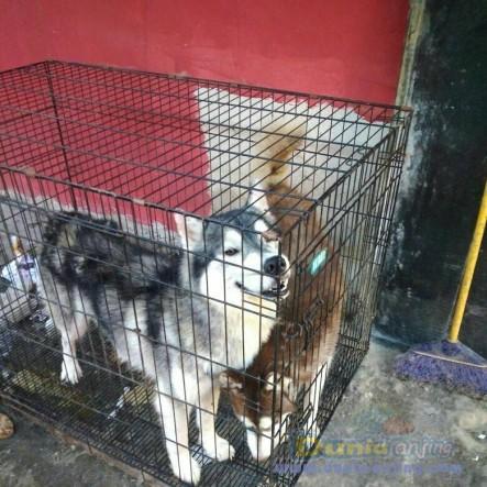 Jual Anjing Siberian Husky  - Jual Siberian Husky Jantan Hitam Putih & Coklat Foto Utama