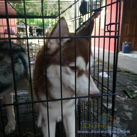 Jual Anjing Siberian Husky  - Jual Siberian Husky Jantan Hitam Putih & Coklat Foto Kedua