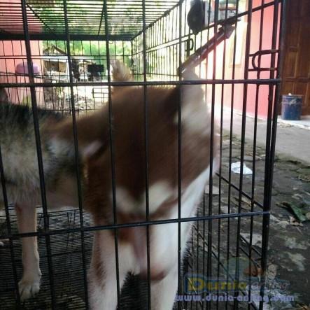 Jual Anjing Siberian Husky  - Jual Siberian Husky Jantan Hitam Putih & Coklat Foto Ketiga