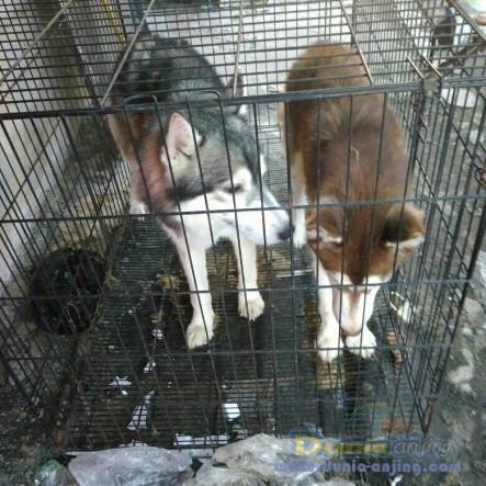 Jual Anjing Siberian Husky  - Jual Siberian Husky Jantan Hitam Putih & Coklat Foto Kelima