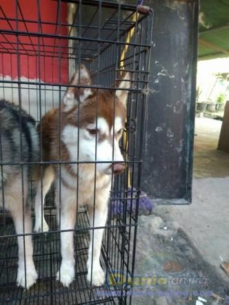 Jual Anjing Siberian Husky  - Jual Siberian Husky Jantan Hitam Putih & Coklat Foto Keenam