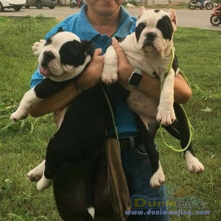 Jual Anjing American Pit Bull Terrier  - Jual American Bully Jantan Dan Betina Istimewa Foto Utama