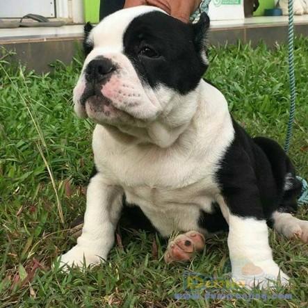 Jual Anjing American Pit Bull Terrier  - Jual American Bully Jantan Dan Betina Istimewa Foto Ketiga