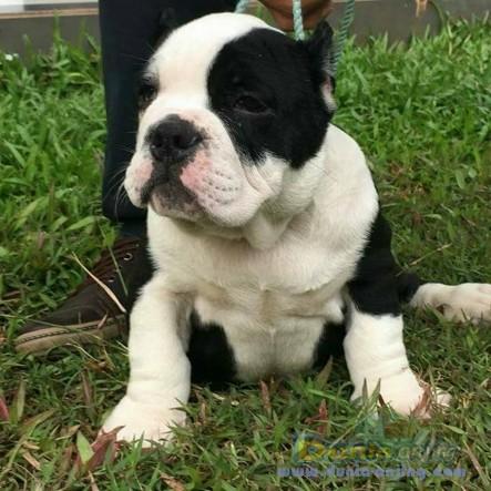 Jual Anjing American Pit Bull Terrier  - Jual American Bully Jantan Dan Betina Istimewa Foto Kelima