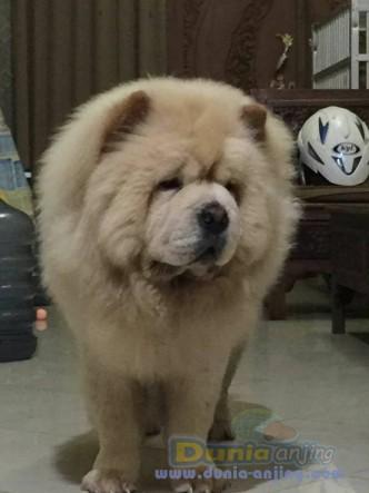 Jual Anjing Chow Chow  - Jual Pejantan Chow - Chow Cream Istimewa Foto Utama