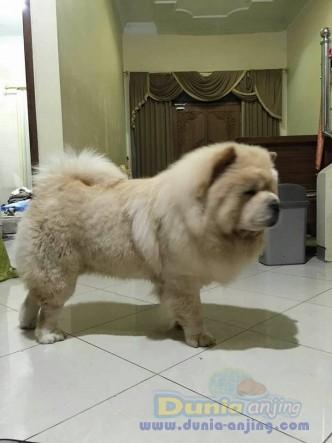 Jual Anjing Chow Chow  - Jual Pejantan Chow - Chow Cream Istimewa Foto Kedua