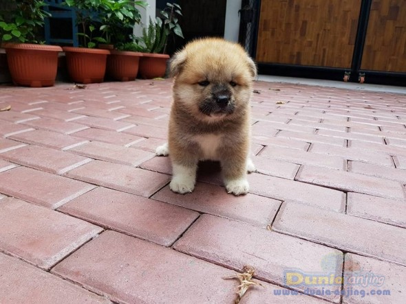 Jual Anjing Akita  - Jual Japanese Akita Jantan Istimewa Foto Utama