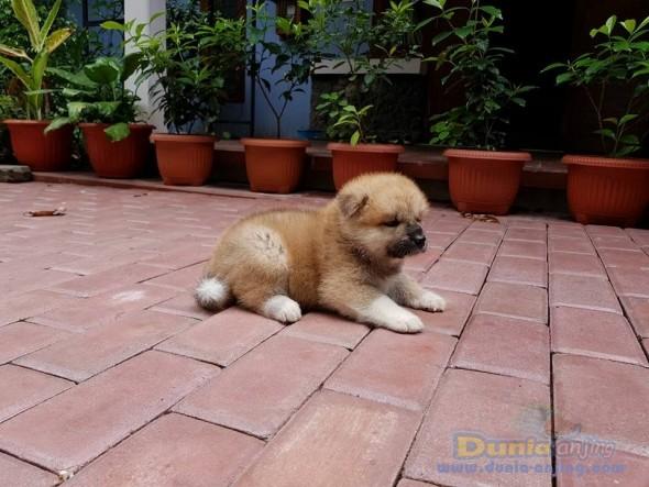 Jual Anjing Akita  - Jual Japanese Akita Jantan Istimewa Foto Ketiga