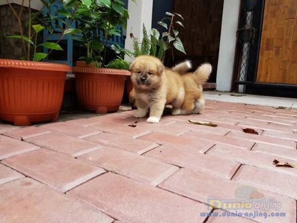 Jual Anjing Akita  - Jual Japanese Akita Jantan Istimewa Foto Keempat