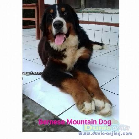 Jual Anjing Bernese Mountain Dog  - Jual Bernese Mountain Dog Jantan Istimewa Foto Utama