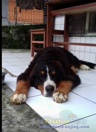 Jual Anjing Bernese Mountain Dog  - Jual Bernese Mountain Dog Jantan Istimewa Foto Kedua