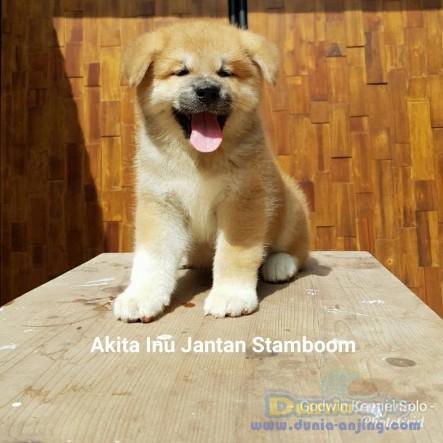 Jual Anjing Akita  - Jual Japanese Akita Inu (Hachiko) Jantan Istimewa Foto Utama