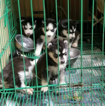 Jual Anjing Siberian Husky  - Husky Mata Biru Masker Trisula Foto Utama