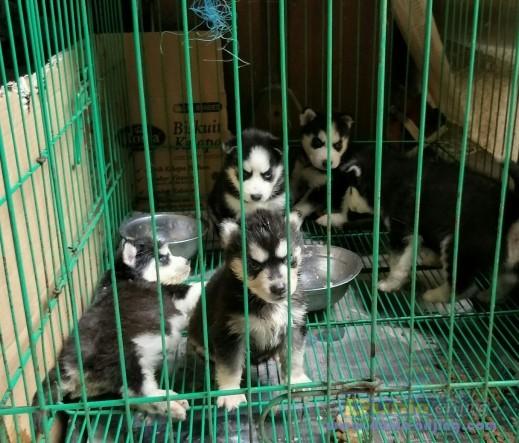 Jual Anjing Siberian Husky  - Husky Mata Biru Masker Trisula Foto Kedua