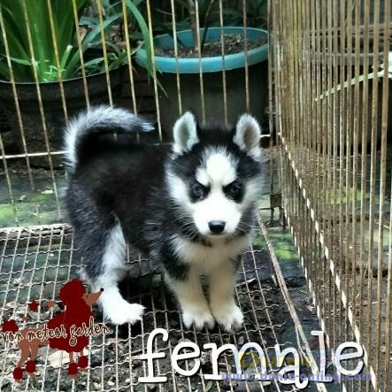 Jual Anjing Siberian Husky  - Husky Mata Biru Masker Trisula Foto Ketiga