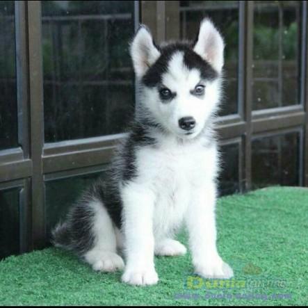 Jual Anjing Siberian Husky  - Jual Siberian Husky Jantan Mata Hitam Istimewa Foto Kedua