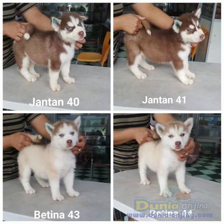 Jual Anjing Siberian Husky  - Jual Siberian Husky 2 Jantan Dan 2 Betina Istimewa Foto Utama