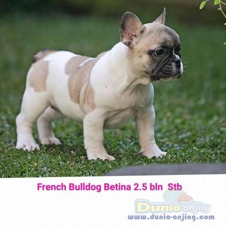 Jual Anjing French Bulldog  - Jual French Bulldog Betina Putih Coklat Istimewa Foto Utama