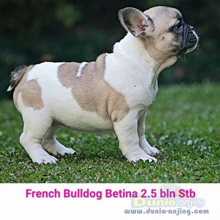Jual Anjing French Bulldog  - Jual French Bulldog Betina Putih Coklat Istimewa Foto Kedua