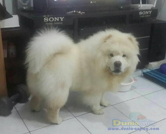 Jual Anjing Chow Chow  - Jual White Chow - Chow Jantan Istimewa Foto Utama