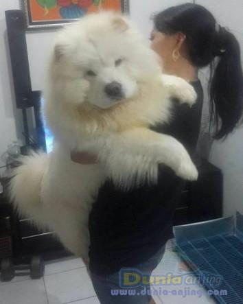 Jual Anjing Chow Chow  - Jual White Chow - Chow Jantan Istimewa Foto Kedua