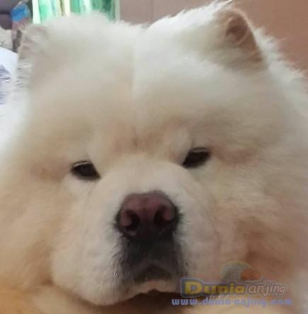 Jual Anjing Chow Chow  - Jual White Chow - Chow Jantan Istimewa Foto Ketiga