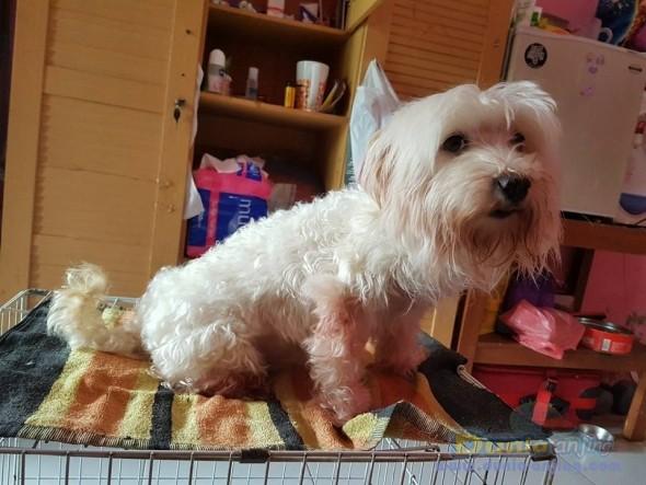 Jual Anjing Maltese  - Jual Maltese Betina Istimewa Foto Utama