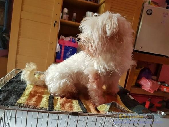 Jual Anjing Maltese  - Jual Maltese Betina Istimewa Foto Keempat