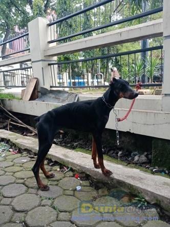 Jual Anjing Doberman Pinscher  - Jual Doberman Betina Black Istimewa Foto Utama
