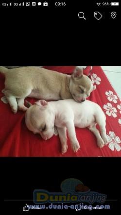 Jual Anjing Chihuahua  - Puppy Cihuahua Jantan Betina Yg Imut 2,5jt Perekor Foto Utama