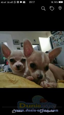 Jual Anjing Chihuahua  - Puppy Cihuahua Jantan Betina Yg Imut 2,5jt Perekor Foto Kedua