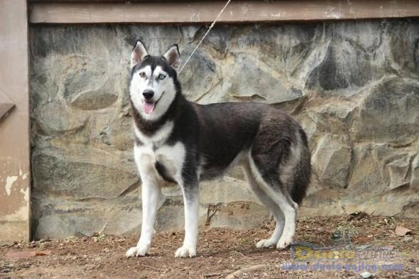 Dunia Anjing Jual Anjing Siberian Husky Jual Siberian Husky Betina Flip Flop Eyes Istimewa